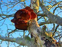 Polypore on a Rowantree by ienemien