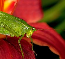 Katydid on a Day Lily by Bonnie T.  Barry