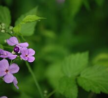 Wild purple phlox by lilcanuk