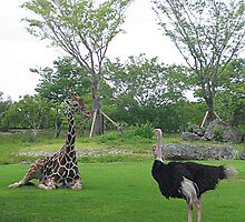 A giraffe and an ostrich in Miami Metrozoo of Florida. by hasarddujour