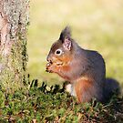 Red Squirrel by Grant Glendinning