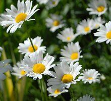 Sun bound daisies by William Sanford