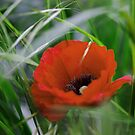 The poppy flower... by Vincent Dimitrov