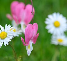 Daisy & Dicentra in a Peebles Garden! by photobymdavey