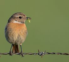 Stonechat (female) by Peter Wiggerman