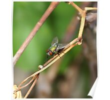 Calliphora vomitoria (Linnaeus) the green bottlefly; May 2009 All Rights Reserved Hedger Photography Poster