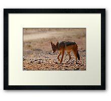 Black Back Jackal, Nambia, Africa Framed Print