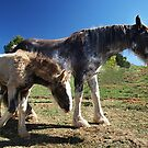 Sabino Mare & Foal, Farm World, Warragul, Gippsland  by Bev Pascoe