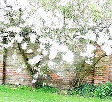 my cherry tree in full bloom by margaret hanks
