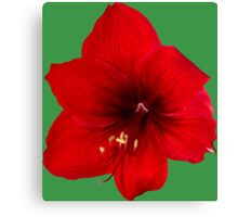 Handsome red flower Canvas Print