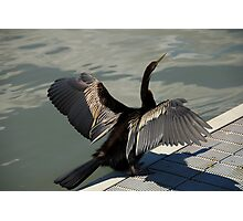 Cormorant on display Photographic Print
