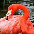 Flamingo by Dan Shiels