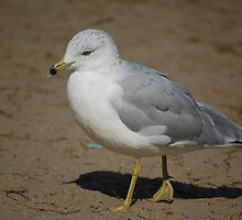 Seagull by Tapuma