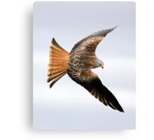 Raptor soaring Canvas Print