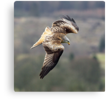Red Kite in flight Canvas Print