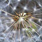 Silver Stars by Rhonda  Thomassen