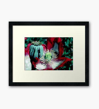 Opium poppy macro Framed Print