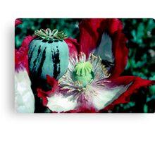 Opium poppy macro Canvas Print