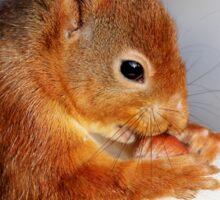 Red Squirrel with nut in snow Sticker