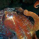 Cuttlefish 2 by Melissa Fiene