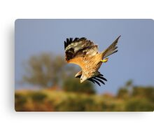 Red Kite diving Canvas Print
