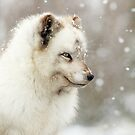 Arctic Fox in the snow by Grant Glendinning