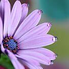 Rain Daisy by Cristina Rossi
