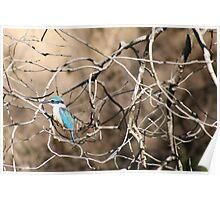 Australian - Azure Kingfisher Poster