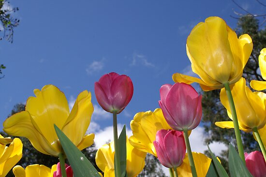 Tulips in the Sky by EverChanging1