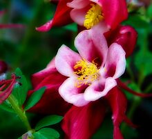 Red Columbine by Bo Insogna