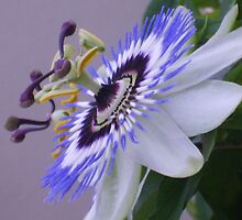 lovely passion flower by lphotomad