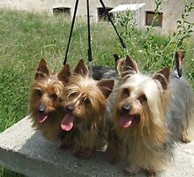 Furry Australian Silky Terrier by welovethedogs