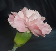 pink carnation by lphotomad