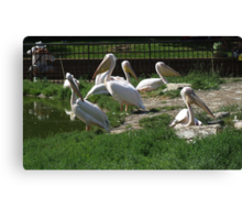 Family Of Pelican's Canvas Print