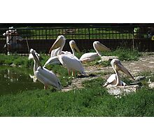 Family Of Pelican's Photographic Print