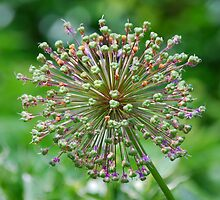 Popping Allium by DonnaM