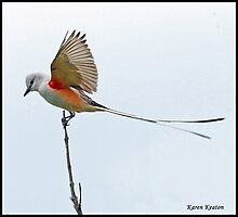 Scissor-Tailed Flycatcher by Karen Keaton