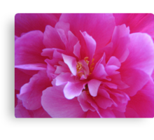 Peony ... for my beloved.... Canvas Print