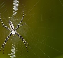 Immature Argiope aurantia by Bonnie T.  Barry