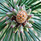 Pine bud...! by sendao