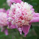 Peony Twins by Karen K Smith