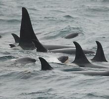 Orca Family Pod with New Born by Bob Moore
