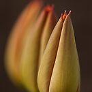 Tulip Trio by Sarah-fiona Helme