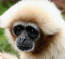 White Handed Gibbon by Ladymoose