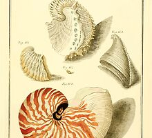 Neues systematisches Conchylien-Cabinet - 100 - Nautili teaues Sracui and Nautilus crassus concameratus by wetdryvac