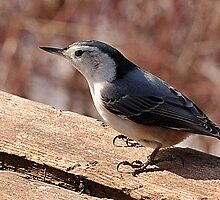 Nuthatch by sundawg7