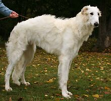 Cute Borzoi by welovethedogs