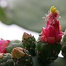 Prickle Pear Cactus Bloom  by June Holbrook