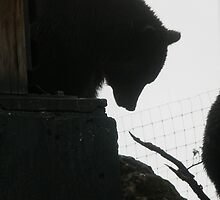 Silhouette of Grizzly Bear by Anthea  Slade