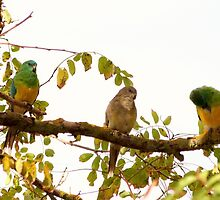 Autumn Visitors at 'Arilka!'   Red Rumped Parrots.  by Rita Blom
